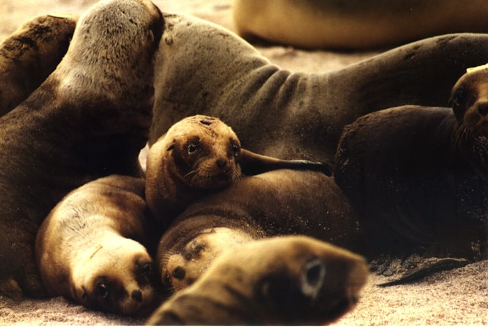 Creche of Pups, Enderby Island