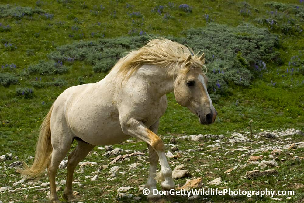 The Mustangs Of Pryor Mountain By Don Getty Focusing On
