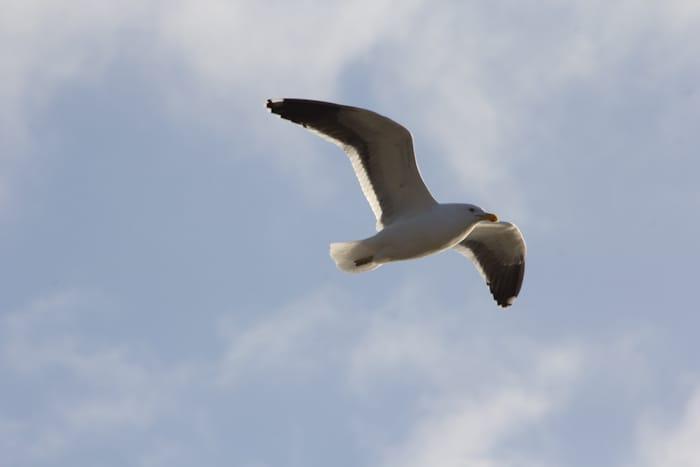 Black Backed Gull, Karoro,          Larus dominicanus