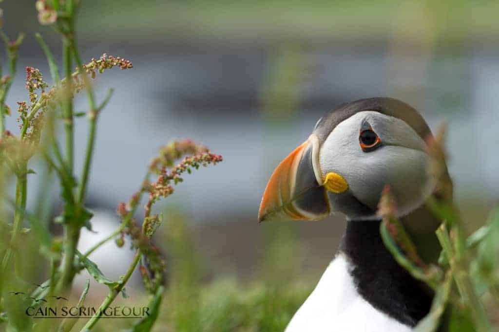 The Puffins of Lunga