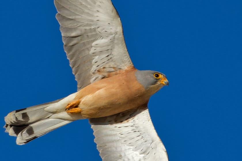 Lesser Kestrel – Falco naumanni