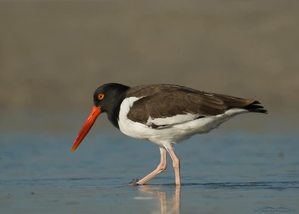 American Oystercatcher in a Tidal Lagoon