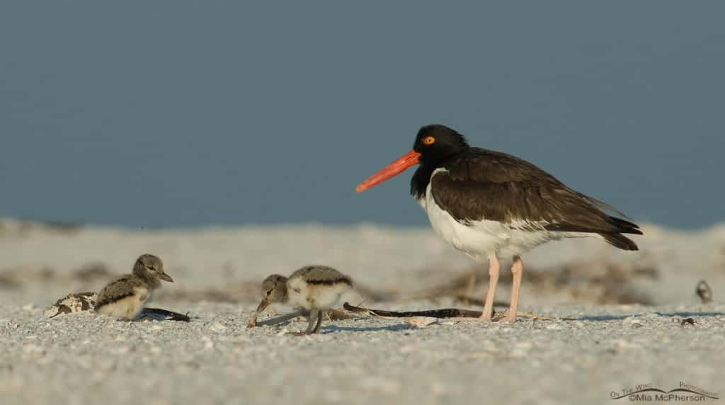 Three and a half months with a young American Oystercatcher
