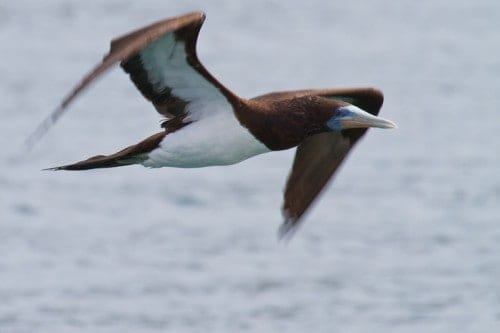 Brown Booby | Sula leucogaster