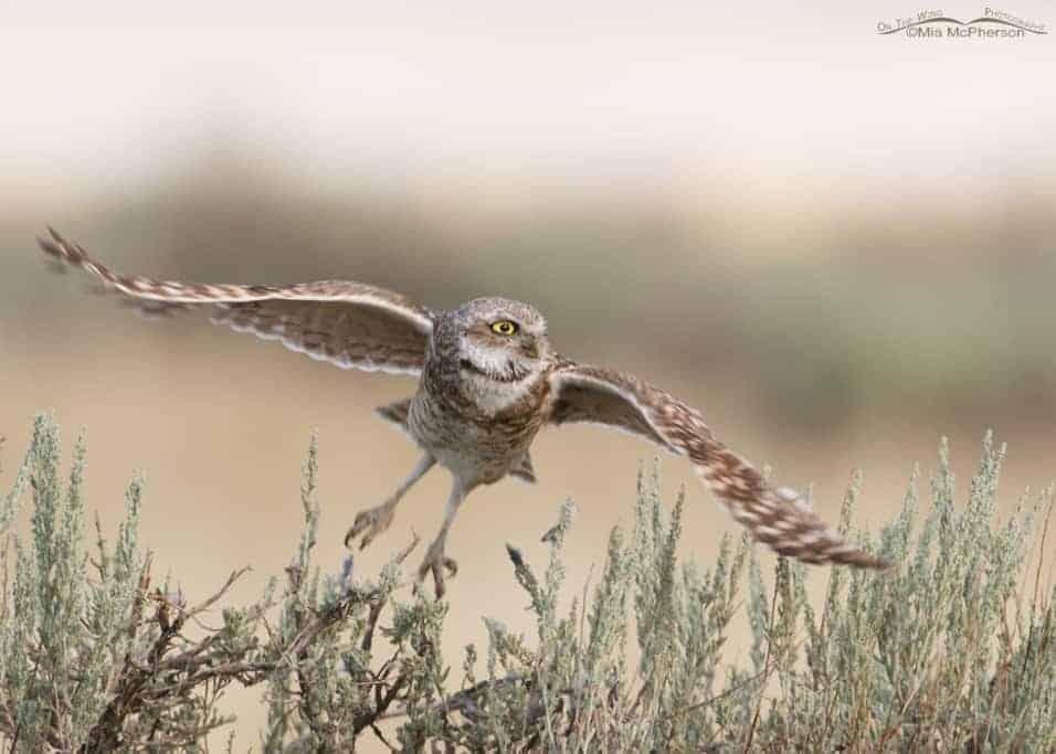 Adult Burrowing Owl Lift Off