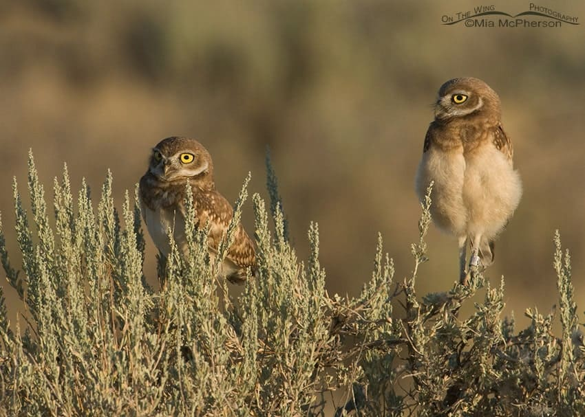 Burrowing Owls – They Make Me Smile