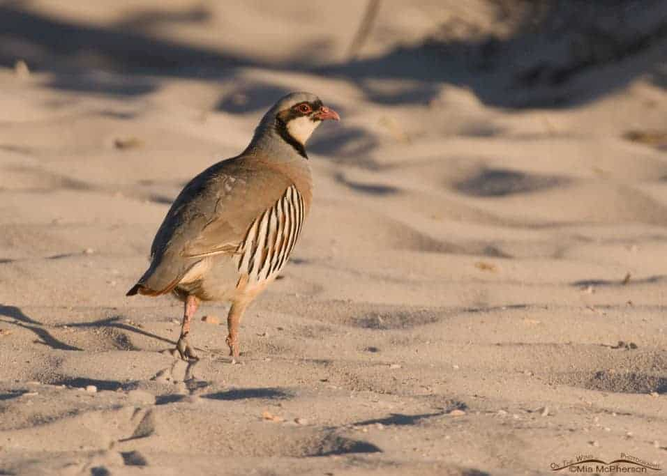 Birds of Antelope Island – A Mix of Feathered Friends