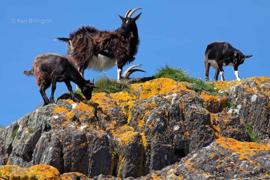 Feral Goats on the West Coast of Ireland