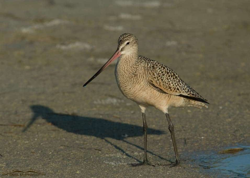 Marbled Godwit with its shadow
