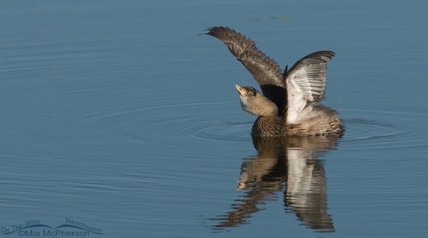 Pied-billed Grebe Wing Lift – Nikon D200, f8, 1/640, ISO 320, Nikkor 200-400mm VR with 1.4x TC at 400mm, natural light