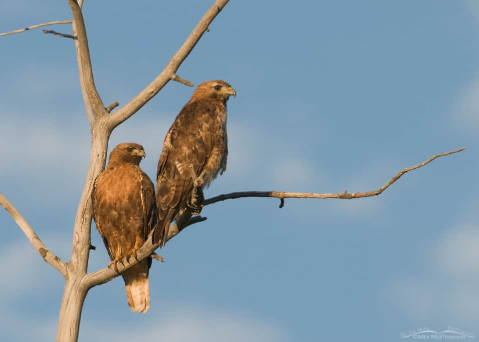 A pair of Red-tailed Hawks in early morning light
