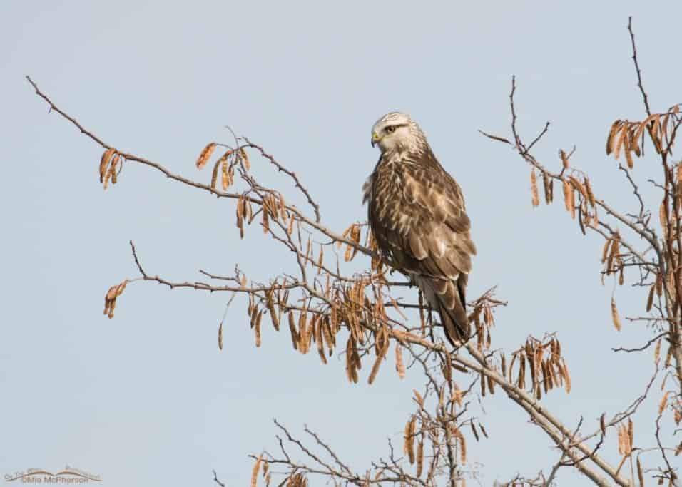 Rough-legged Hawk ~ Friday Photos