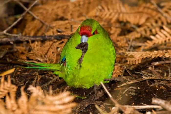 Parakeet, Kakariki,              sp     Cyanoramphus