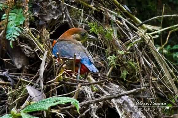 Philippines' Rarest Whiskered Pitta Thriving in Mt. Banahaw