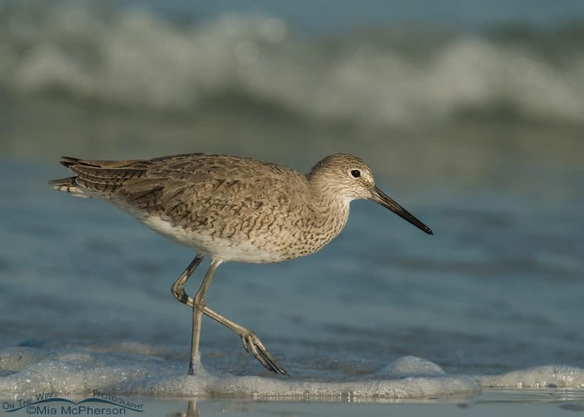 Willet in the surf of the Gulf of Mexico
