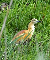 Squacco heron in Norfolk