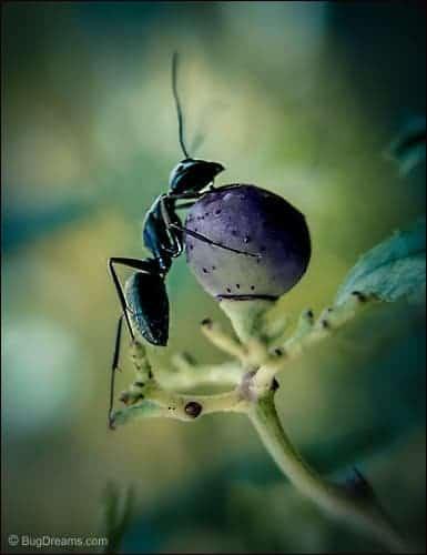 Olympian Ant