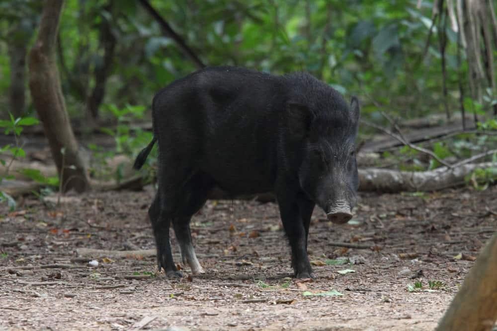 Wild Boar On Komodo Island By Adam Riley  U00bb Focusing On