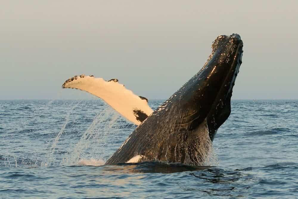 Humpback Whales (Megaptera novaeangliae) off Canada's East Coast