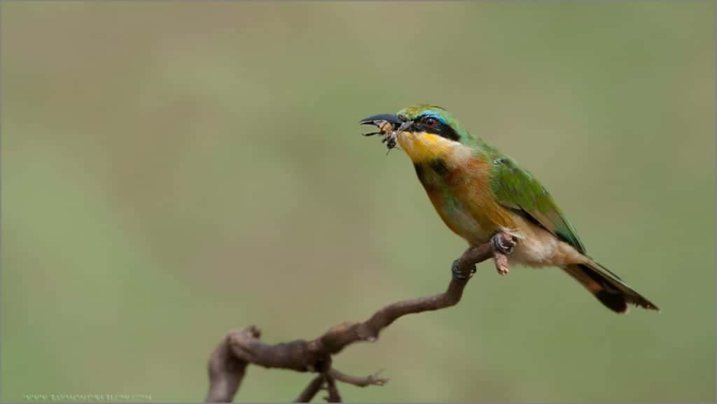 Raymond's Bee-eater with a Bee?