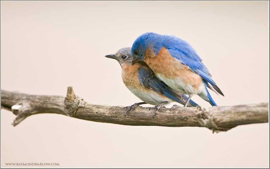 Eastern Bluebird Photography