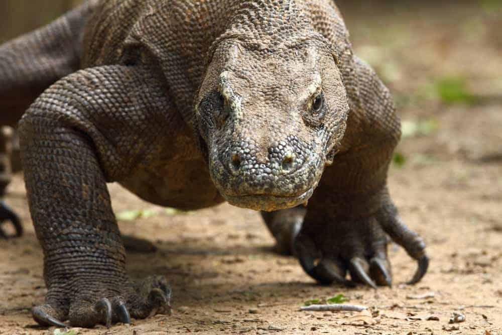 A Komodo Dragon lumbers Komodo Dragon