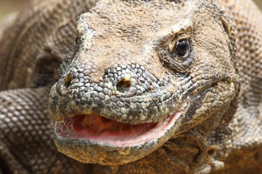 Komodo Dragon showing copious saliva by Adam Riley ...