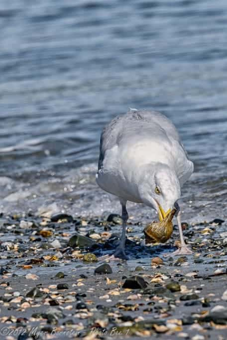 Gulls Are Scavengers