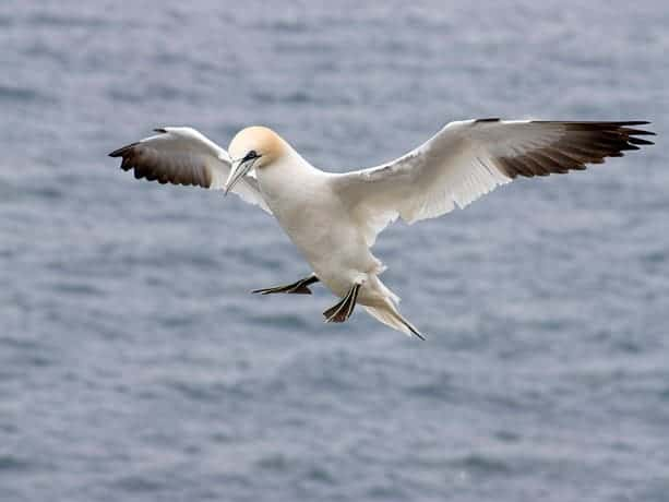 Gannets, Troup Head – North East Scotland