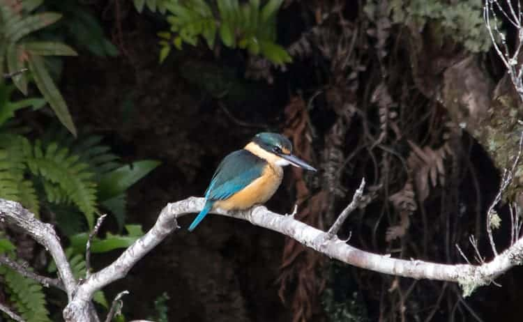 Kingfisher, Kotare,     Halcyon sancta vagans