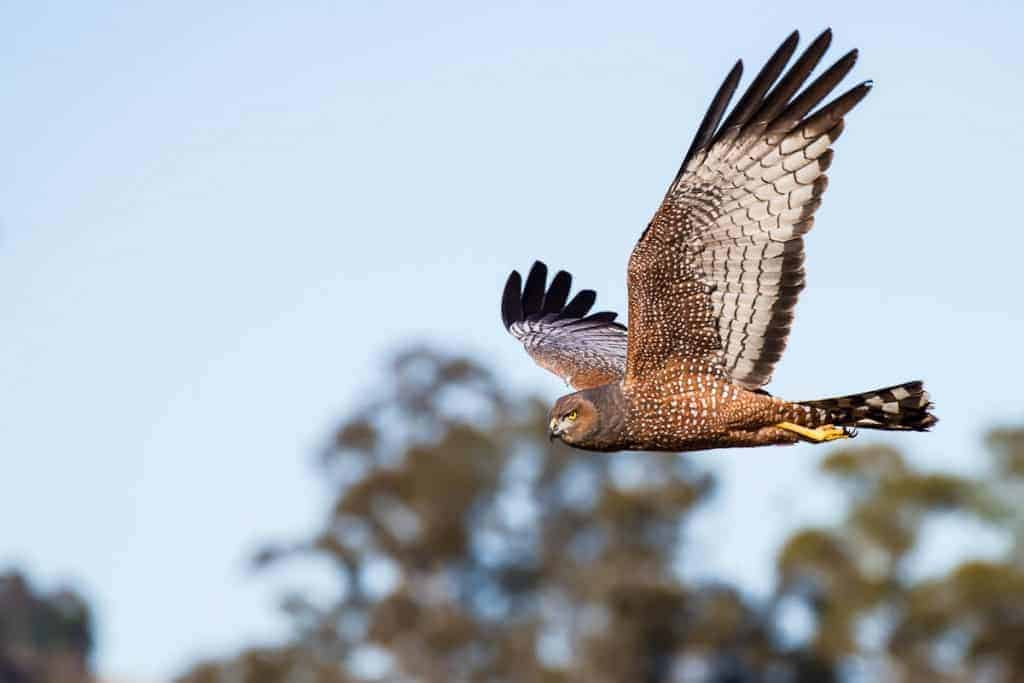 Spotted Harrier | Circus assimilis