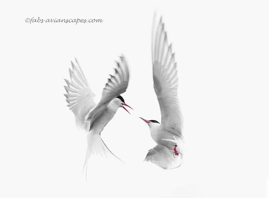 Arctic Terns (with short feeding video) by Fabiola Forns