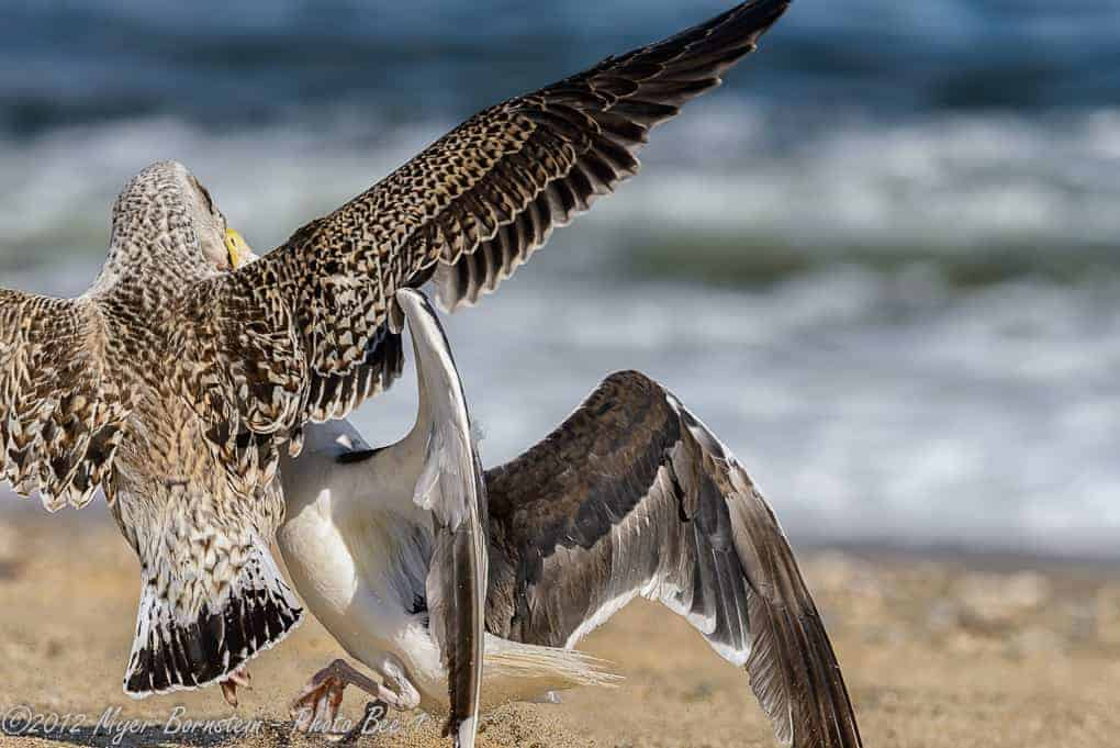 Great Black-Backed Gull Fight