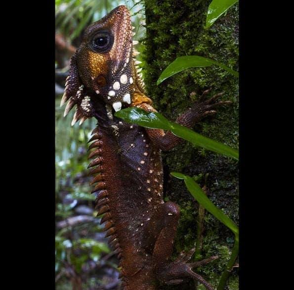 Jalbil; the super-cool Daintree dinosaur