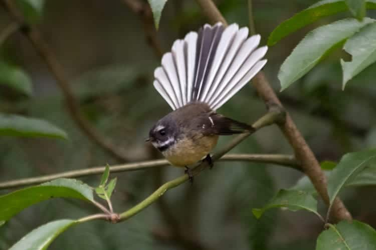 Fantail with tail fully spread