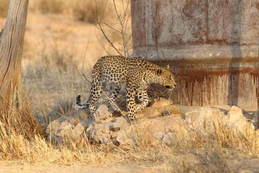 The Leeudril Leopard – an Incredible Encounter
