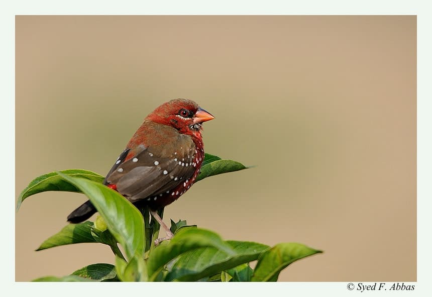 Red Avadavats or Strawberry Finches (Amandava amandava)