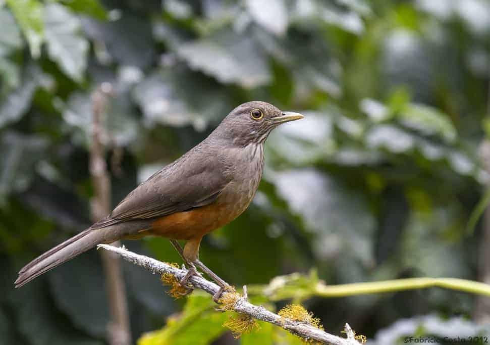 Rufous-bellied Thrush – Bird symbol of Brazil