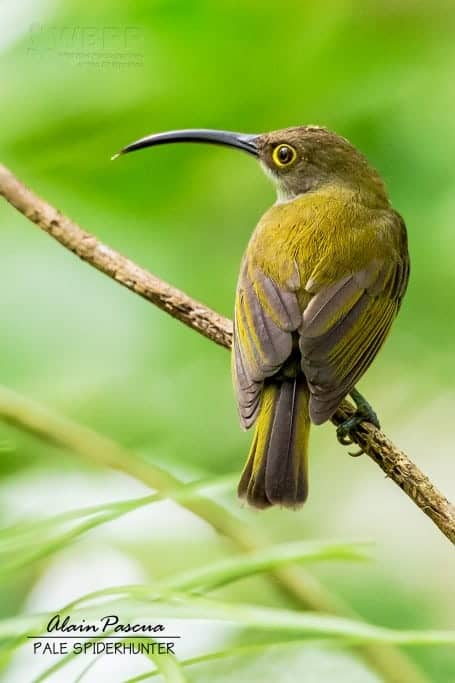 Pale Spiderhunter of Palawan, Philippines