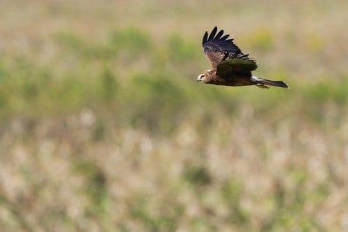 Pied Harrier | Circus melanoleucos