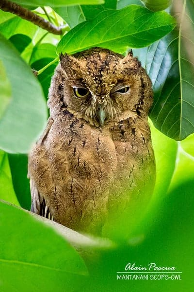 Mantanani Scops-Owls of Palawan, Philippines