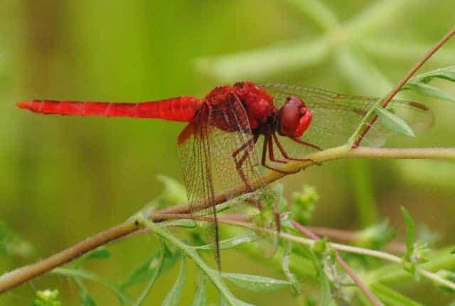Odonata at Ollie's Pond