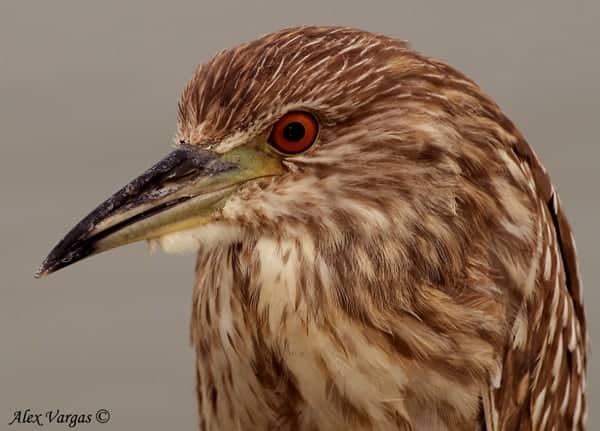Black-crowned-Night-Heron-juvenile-portrait by Alex Vargas