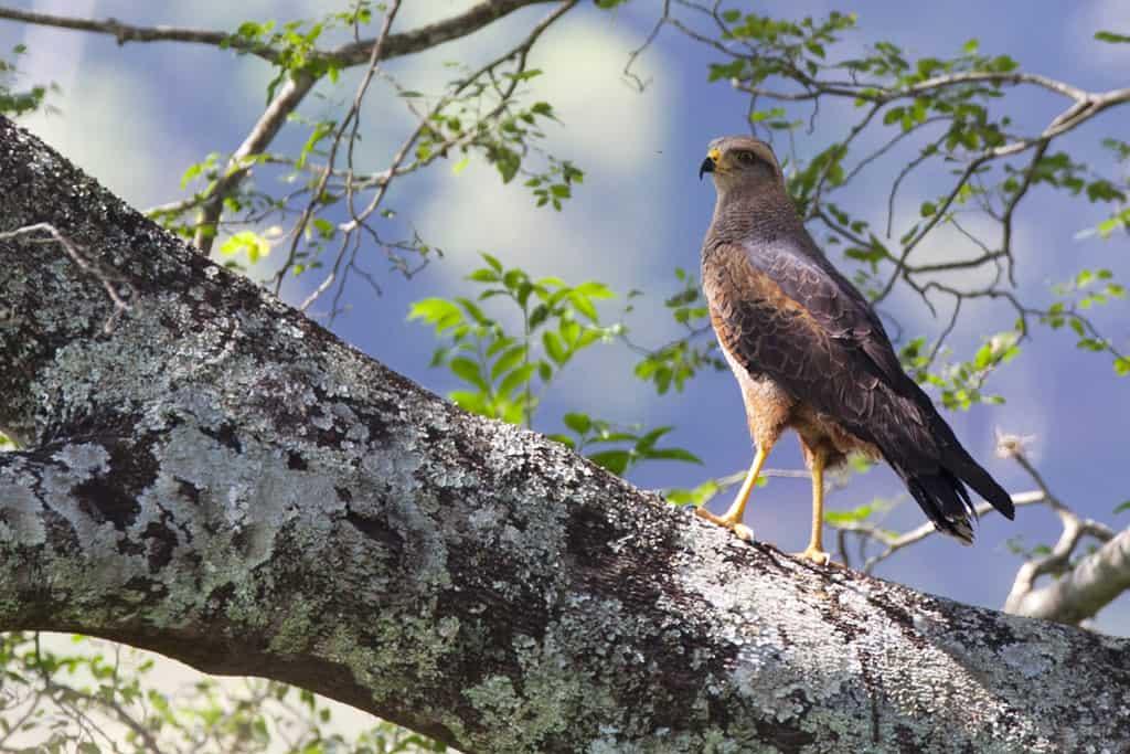 Savanna Hawk / Heterospizias meridionalis