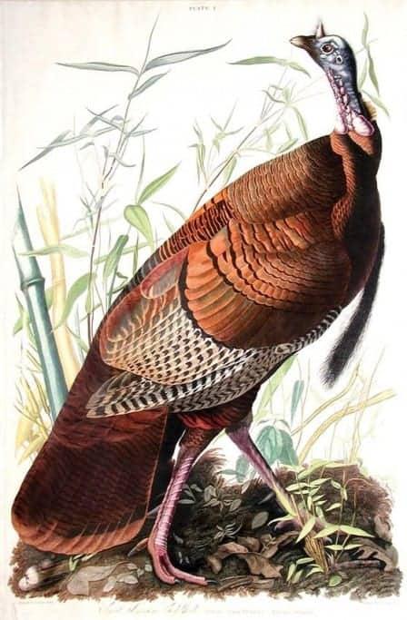 Rare Art Works by John James Audubon at Auction on December 5th Part IV