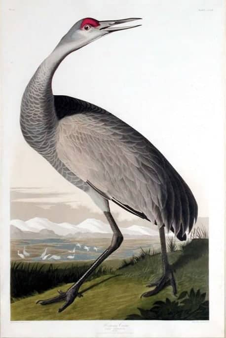 Rare Art Works by John James Audubon at Auction on December 5th Part VII