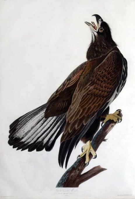 Rare Art Works by John James Audubon at Auction on December 5th Part VI