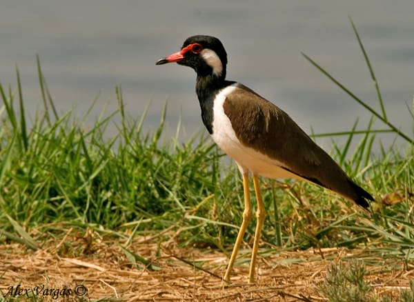Red-watled Lapwing - sunny by Alex Vargas