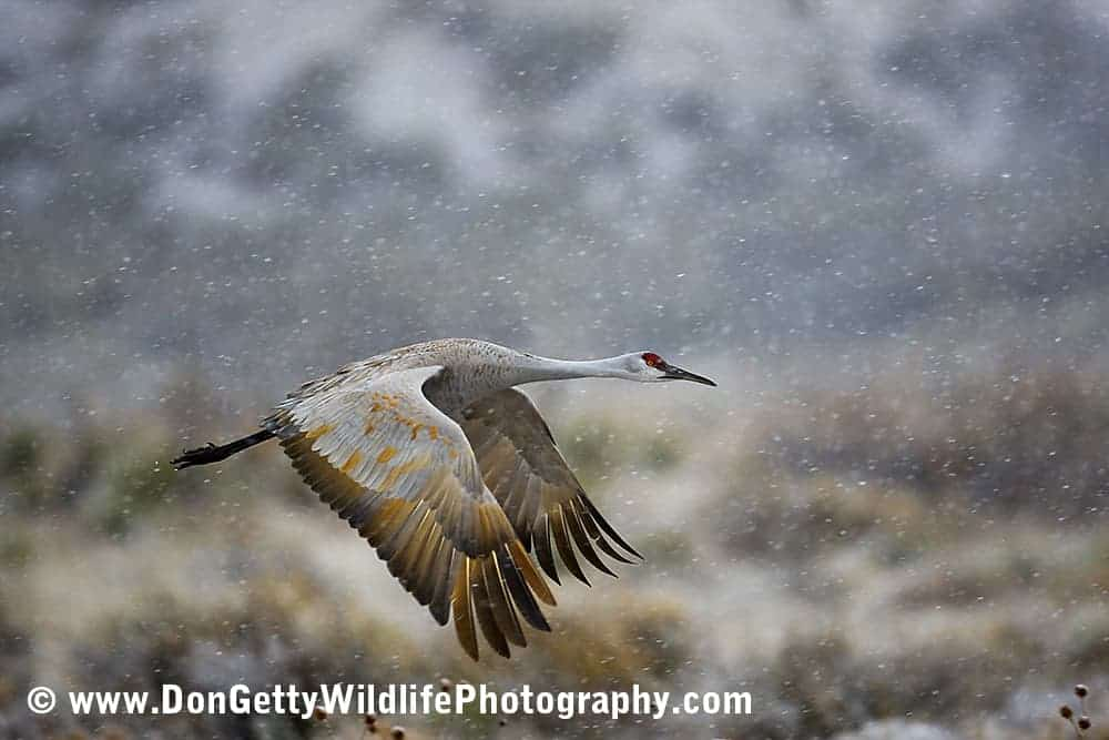 Sandhill Crane Flying in Snowstorm by Don Getty
