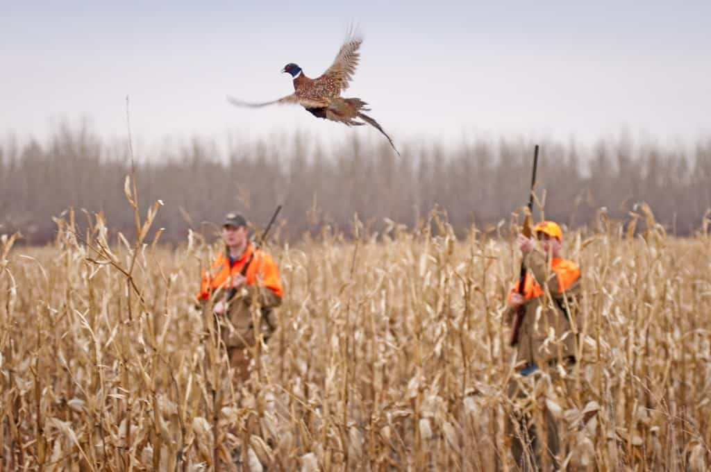 Poll: Do you agree that shooting pheasants is good for the ...